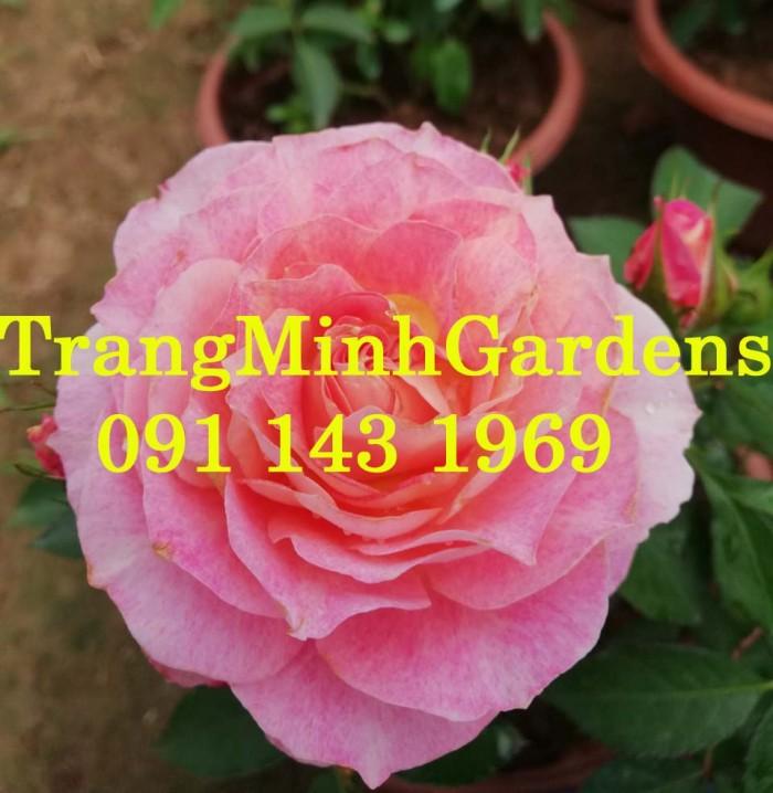 Hồng bụi mini siêu nụ nova king terrazza (terrazza màu hồng công chúa)2