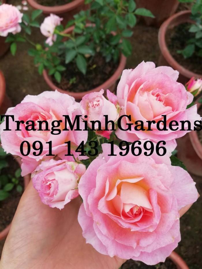 Hồng bụi mini siêu nụ nova king terrazza (terrazza màu hồng công chúa)3