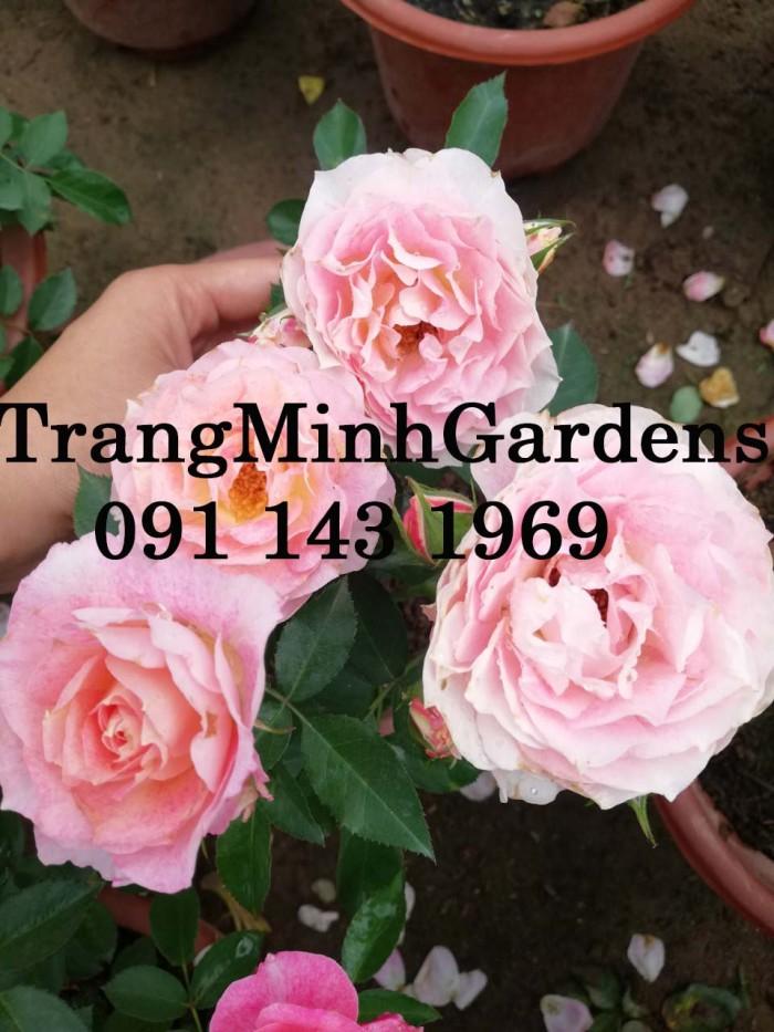 Hồng bụi mini siêu nụ nova king terrazza (terrazza màu hồng công chúa)4