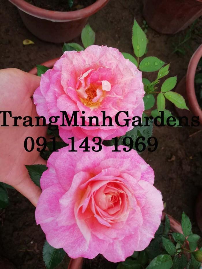 Hồng bụi mini siêu nụ nova king terrazza (terrazza màu hồng công chúa)5