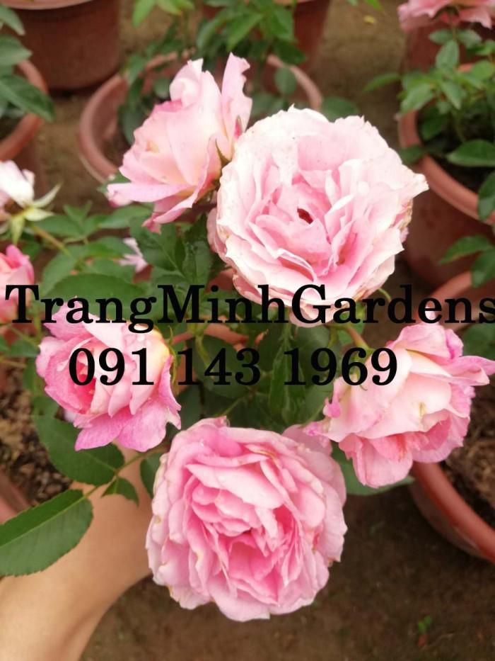 Hồng bụi mini siêu nụ nova king terrazza (terrazza màu hồng công chúa)6