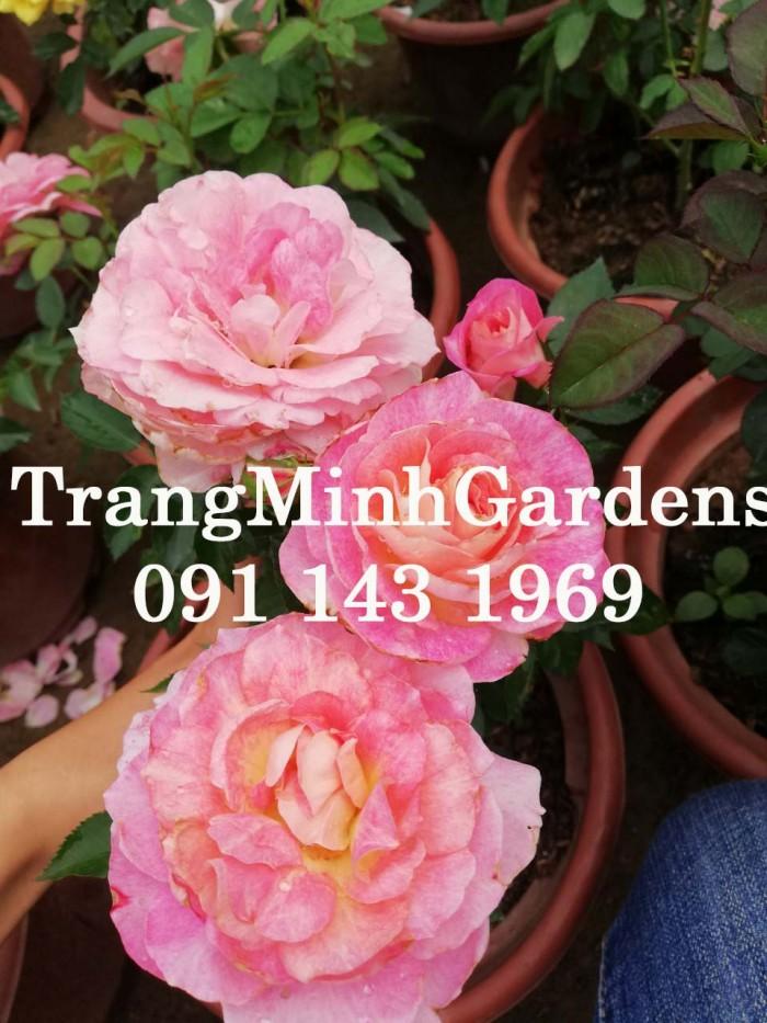 Hồng bụi mini siêu nụ nova king terrazza (terrazza màu hồng công chúa)7