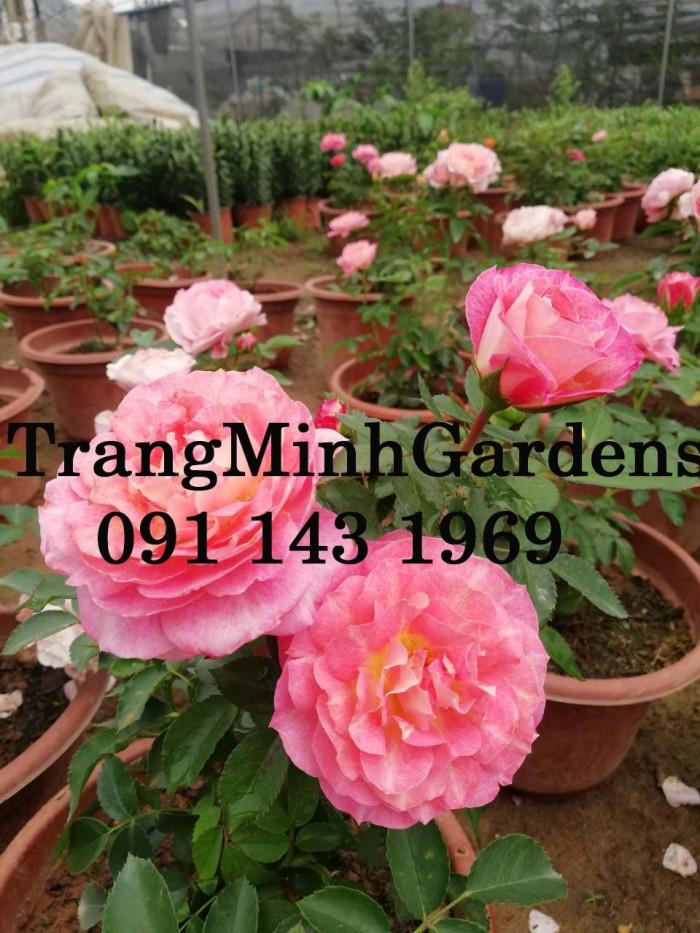 Hồng bụi mini siêu nụ nova king terrazza (terrazza màu hồng công chúa)8
