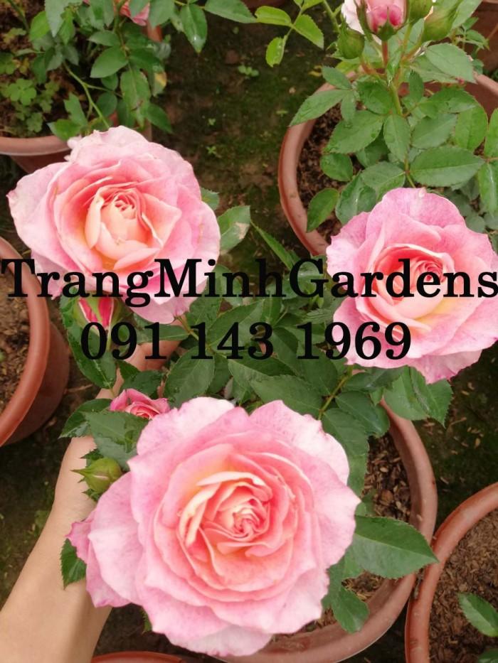 Hồng bụi mini siêu nụ nova king terrazza (terrazza màu hồng công chúa)9