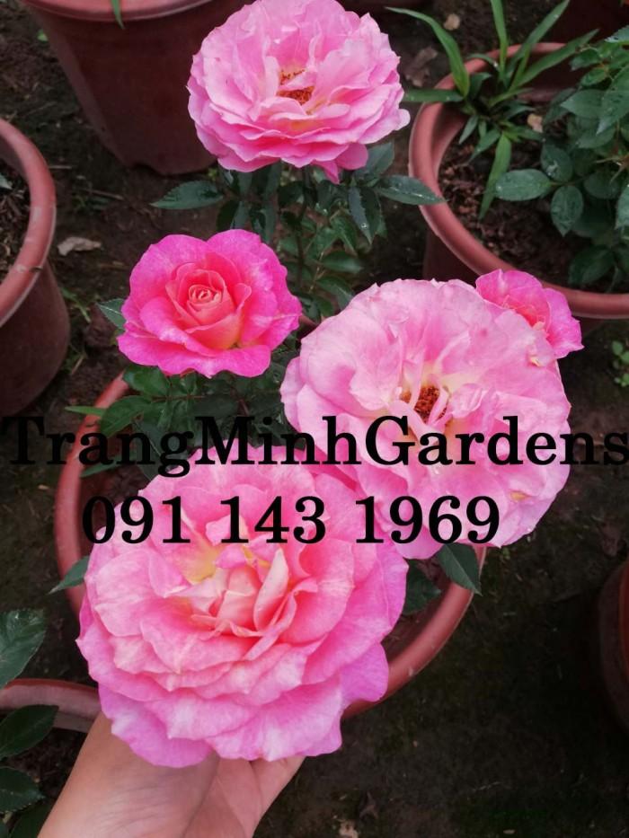 Hồng bụi mini siêu nụ nova king terrazza (terrazza màu hồng công chúa)10