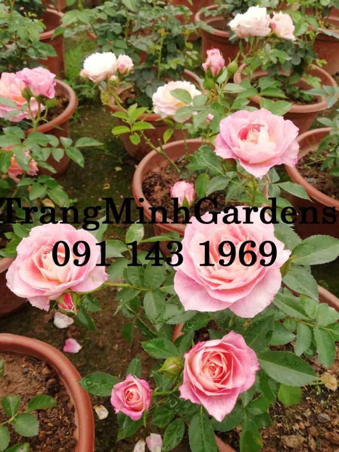 Hồng bụi mini siêu nụ nova king terrazza (terrazza màu hồng công chúa)11