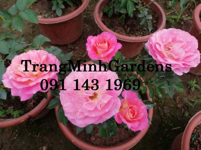Hồng bụi mini siêu nụ nova king terrazza (terrazza màu hồng công chúa)12