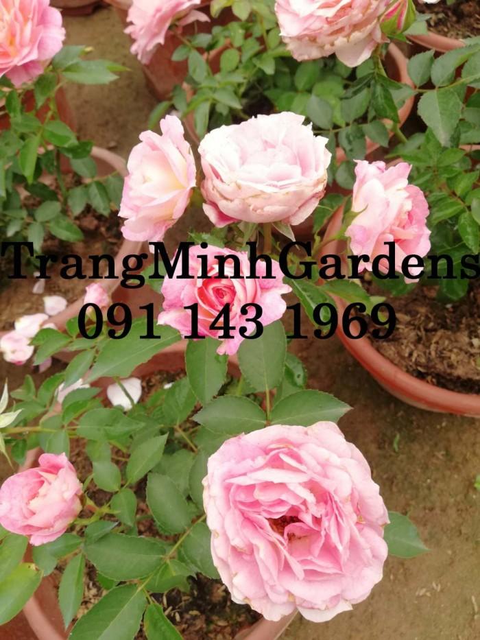 Hồng bụi mini siêu nụ nova king terrazza (terrazza màu hồng công chúa)13