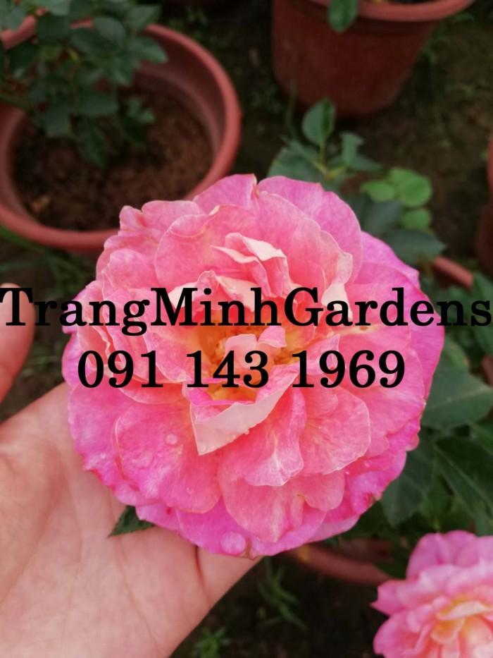 Hồng bụi mini siêu nụ nova king terrazza (terrazza màu hồng công chúa)15