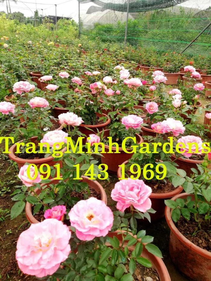 Hồng bụi mini siêu nụ nova king terrazza (terrazza màu hồng công chúa)16