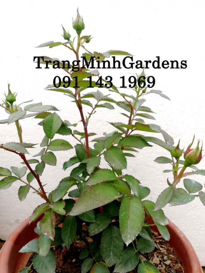 Hồng bụi mini siêu nụ nova king terrazza (terrazza màu hồng công chúa)18
