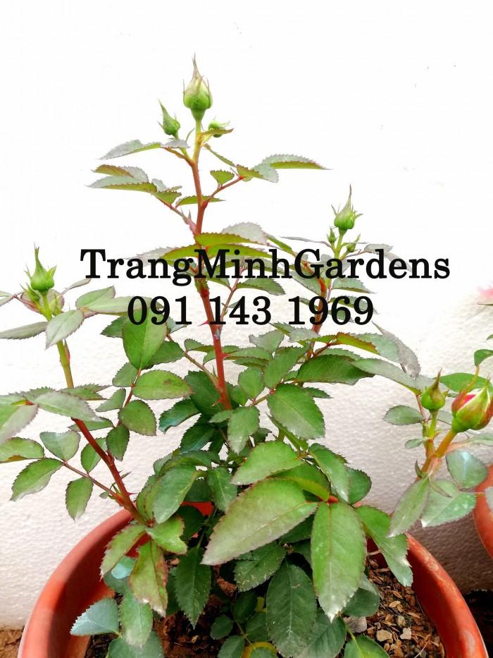 Hồng bụi mini siêu nụ nova king terrazza (terrazza màu hồng công chúa)20