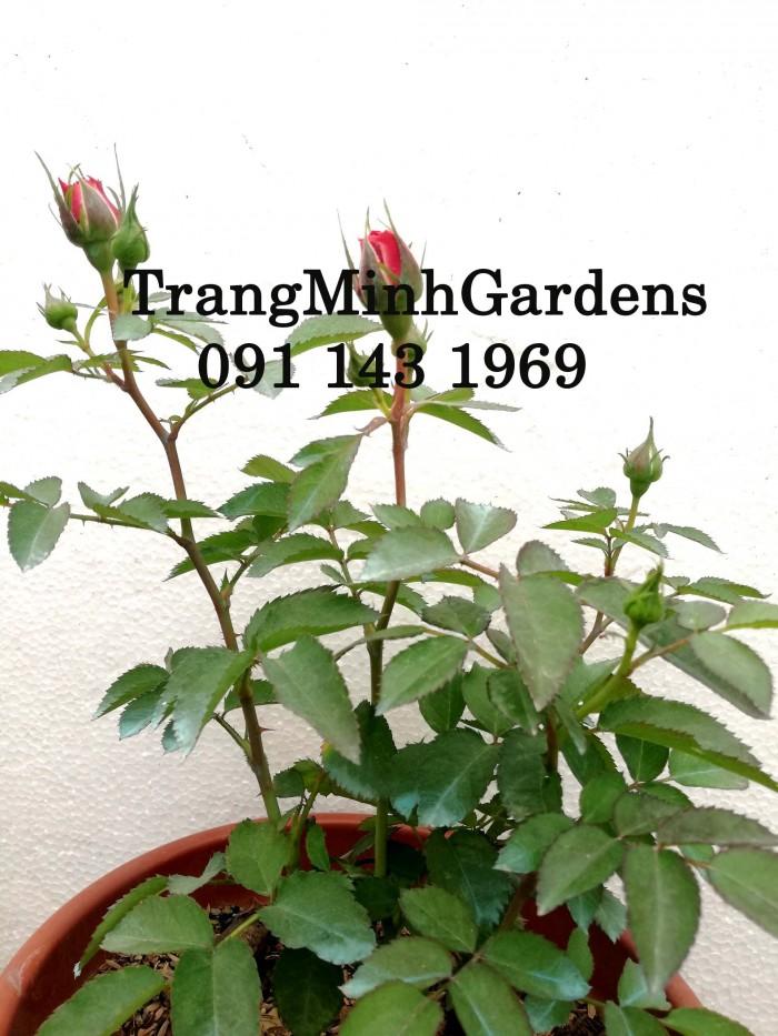 Hồng bụi mini siêu nụ nova king terrazza (terrazza màu hồng công chúa)21