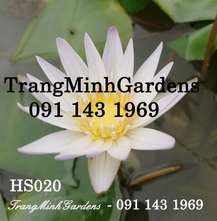 Hoa súng Thái Lan Mini (Hoa súng mini)0