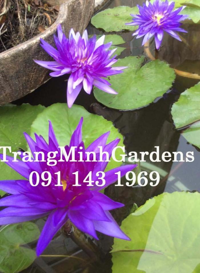 Hoa súng Thái Lan mini King of Siam (Hoa súng mini trăm cánh màu tím xanh)2