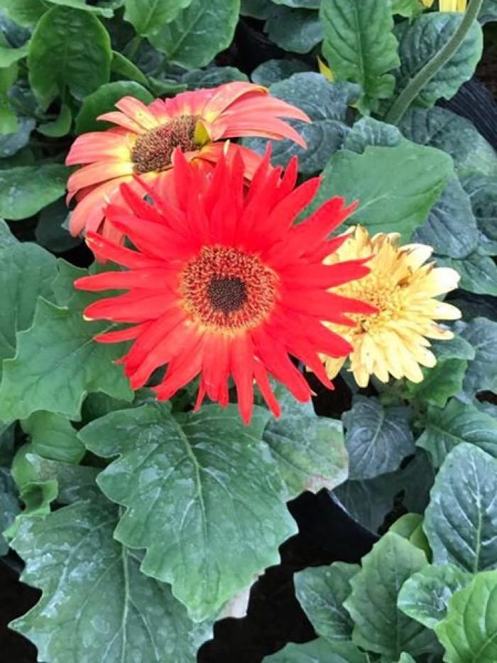 Cây hoa đồng tiền cao, cây hoa đồng tiền lùn, kỹ thuật trồng và chăm sóc cây hoa đồng tiền9