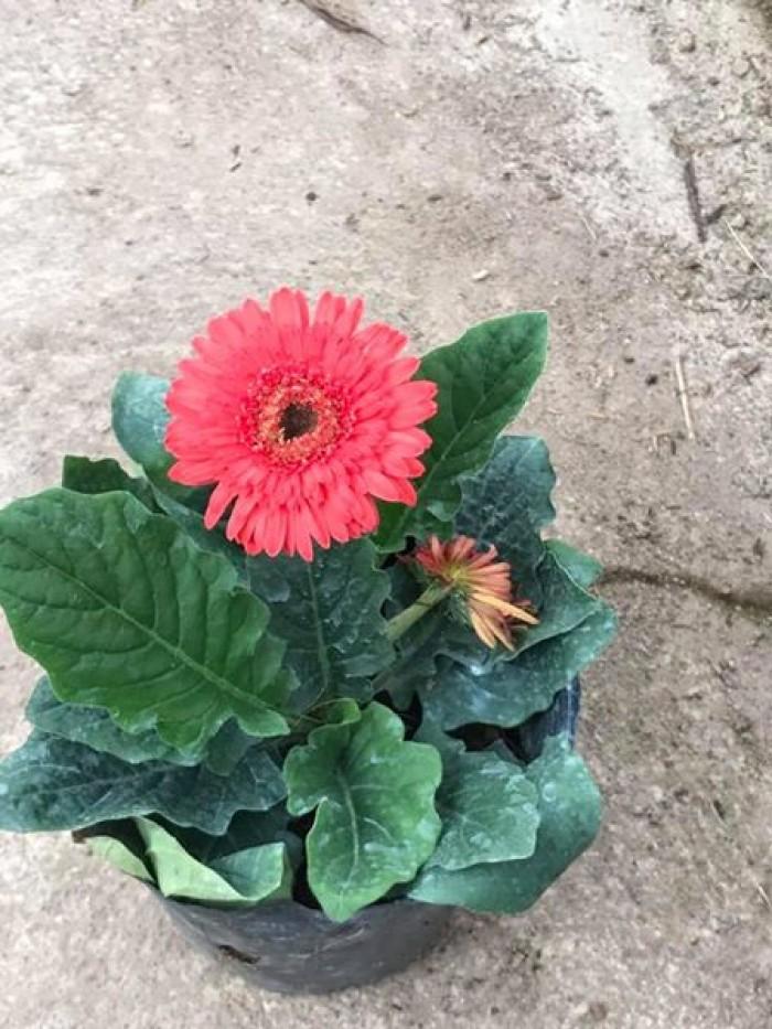 Cây hoa đồng tiền cao, cây hoa đồng tiền lùn, kỹ thuật trồng và chăm sóc cây hoa đồng tiền8