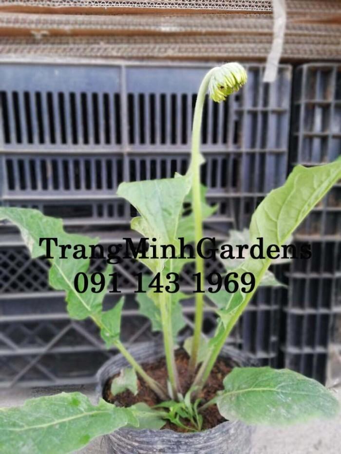 Cây hoa đồng tiền cao, cây hoa đồng tiền lùn, kỹ thuật trồng và chăm sóc cây hoa đồng tiền5