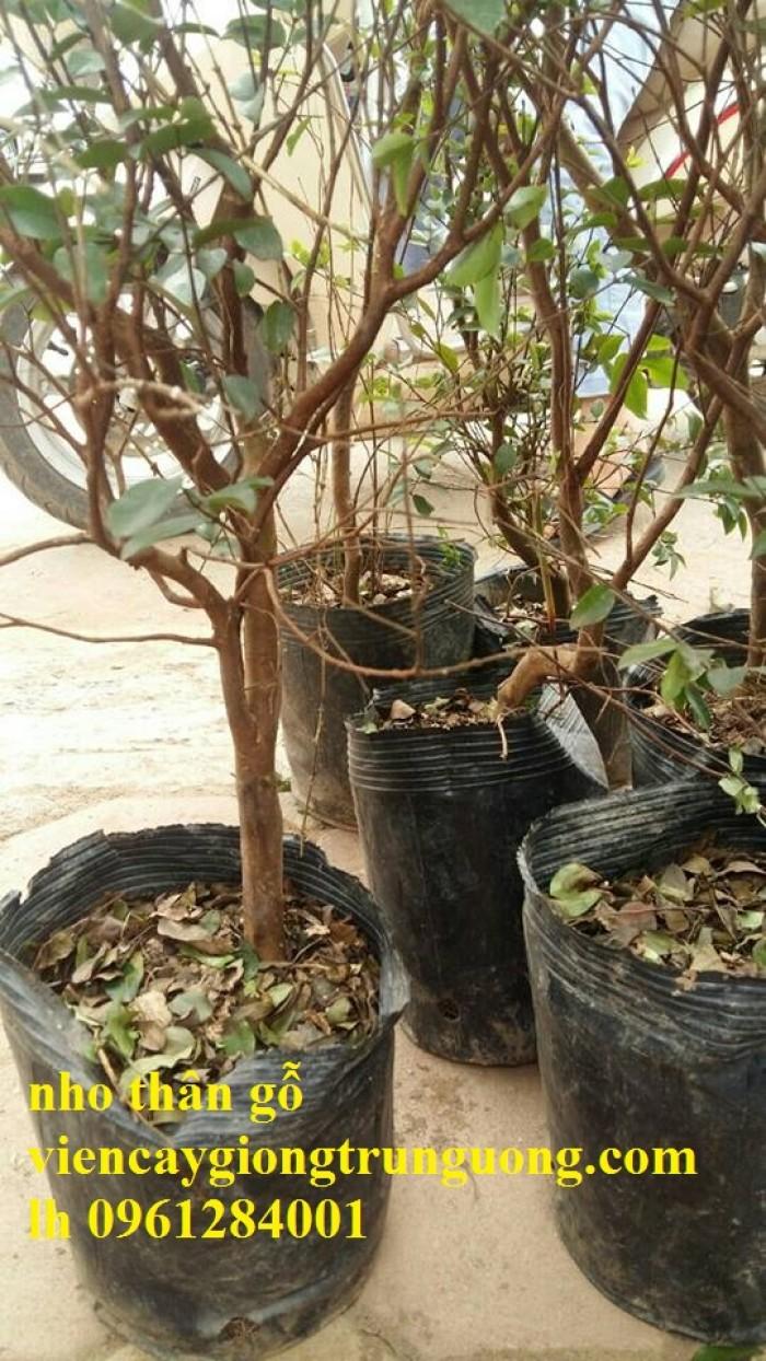 Cây nho thân gỗ, nho đất, giống cây nho, cây giống  nhập khẩu, giao hàng toàn quốc18
