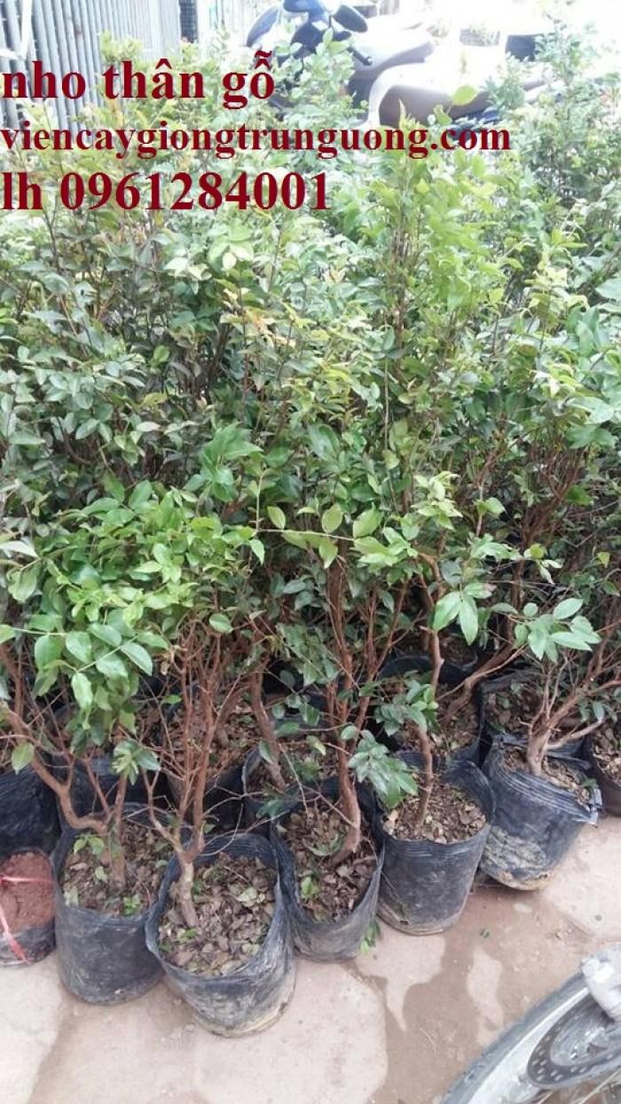 Cây nho thân gỗ, nho đất, giống cây nho, cây giống  nhập khẩu, giao hàng toàn quốc13