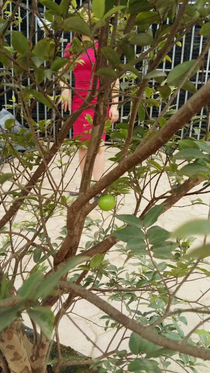 Cây nho thân gỗ, nho đất, giống cây nho, cây giống  nhập khẩu, giao hàng toàn quốc17