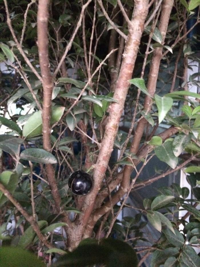 Cây nho thân gỗ, nho đất, giống cây nho, cây giống  nhập khẩu, giao hàng toàn quốc21