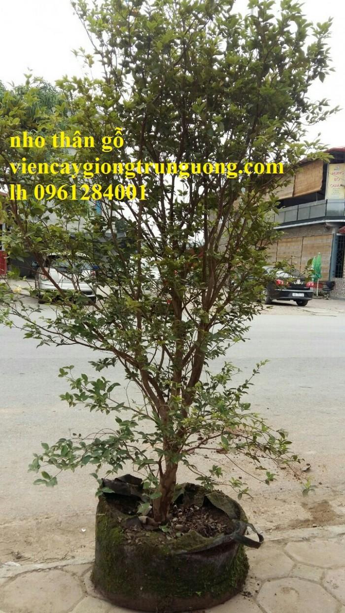 cây nho thân gỗ 5 năm tuổi12