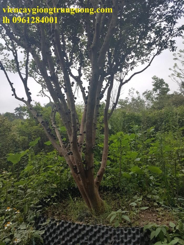 Cây nho thân gỗ, nho đất, giống cây nho, cây giống  nhập khẩu, giao hàng toàn quốc14