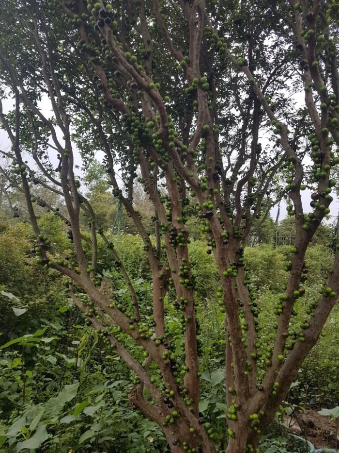 Cây nho thân gỗ, nho đất, giống cây nho, cây giống  nhập khẩu, giao hàng toàn quốc15