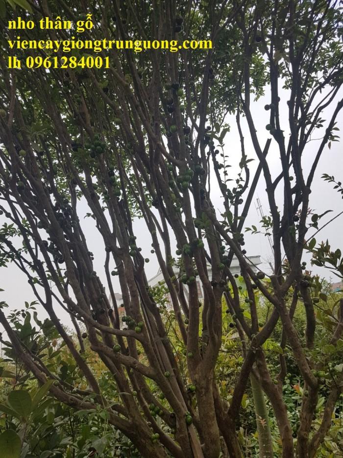 Cây nho thân gỗ, nho đất, giống cây nho, cây giống  nhập khẩu, giao hàng toàn quốc20