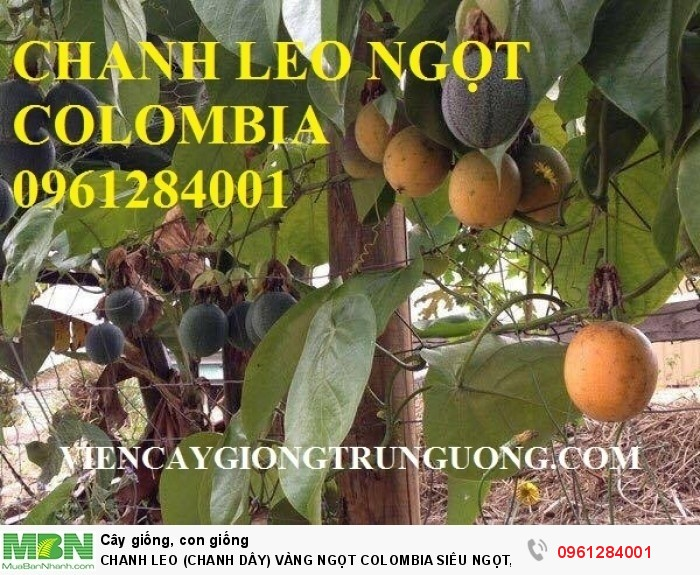 chanh leo ngọt colombia2