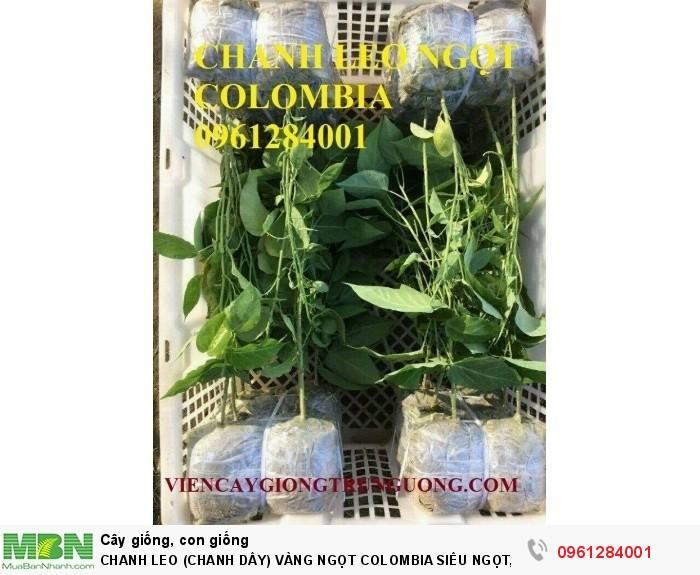 Chanh Leo (Chanh Dây) Vàng Ngọt Colombia Siêu Ngọt, Siêu Lơi Nhuận.6