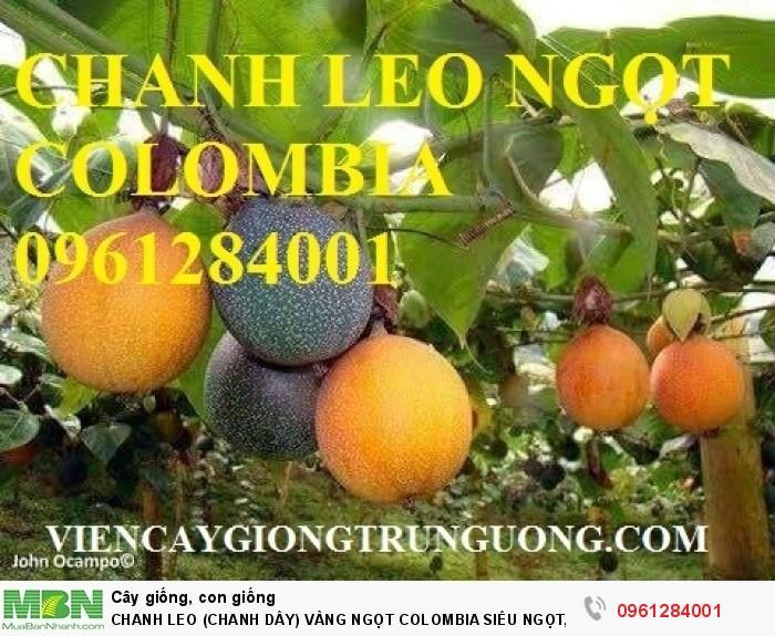 Chanh Leo (Chanh Dây) Vàng Ngọt Colombia Siêu Ngọt, Siêu Lơi Nhuận.7
