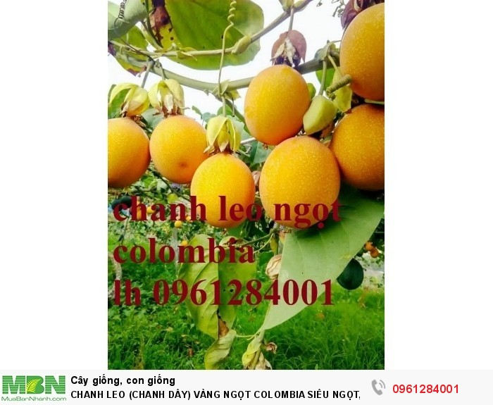 chanh dây ngọt colombia10