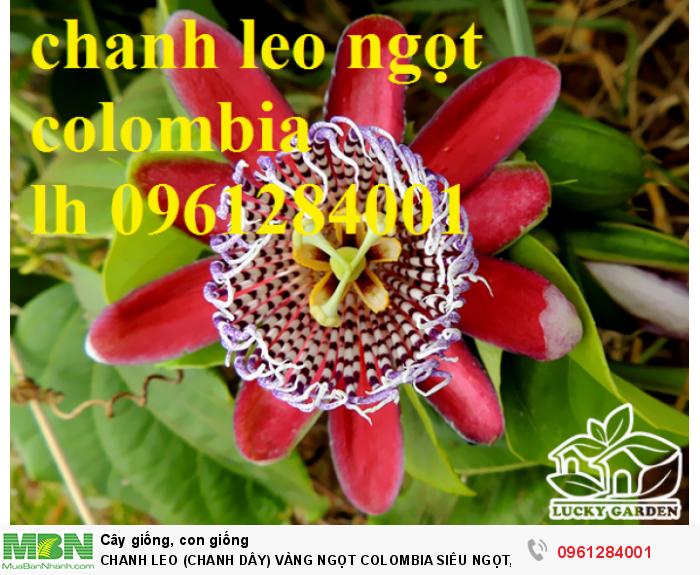 Chanh Leo (Chanh Dây) Vàng Ngọt Colombia Siêu Ngọt, Siêu Lơi Nhuận.11