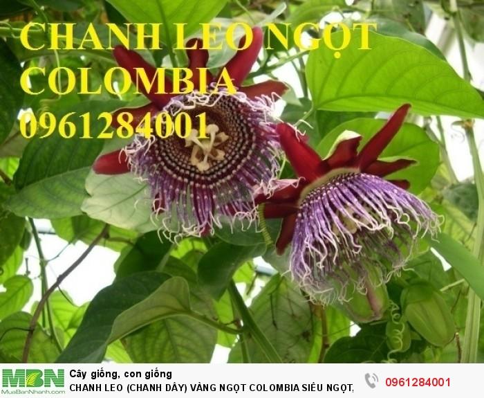 Chanh Leo (Chanh Dây) Vàng Ngọt Colombia Siêu Ngọt, Siêu Lơi Nhuận.15