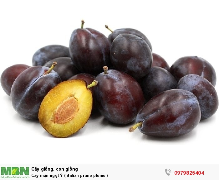 Cây mận ngọt Ý  ( italian prune plums  )0