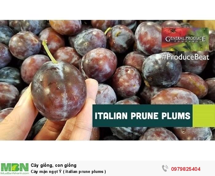 Cây mận ngọt Ý  ( italian prune plums  )2