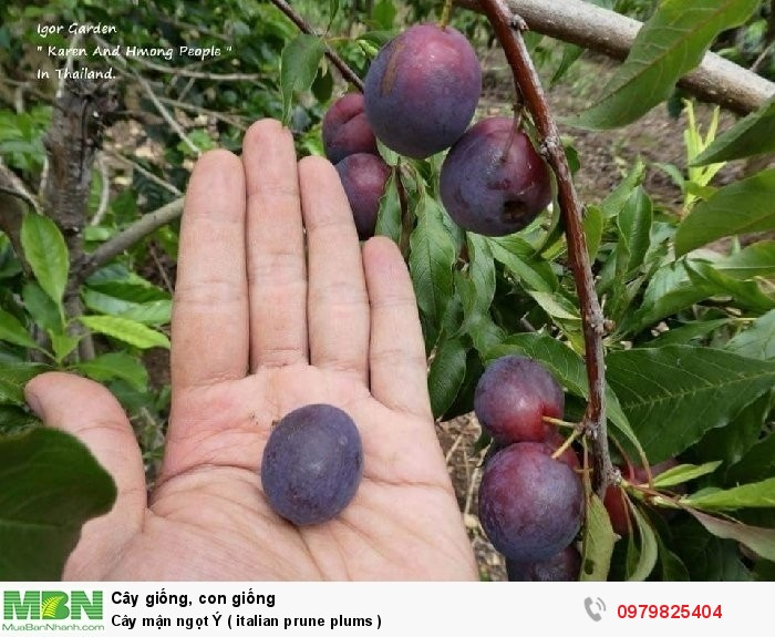 Cây mận ngọt Ý  ( italian prune plums  )4
