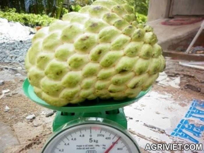 cung cấp giống cây ăn quả, cây ăn quả cây na đài loan, na bở đài loan, na nhập khẩu đài loan4