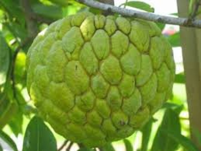 cung cấp giống cây ăn quả, cây ăn quả cây na đài loan, na bở đài loan, na nhập khẩu đài loan3