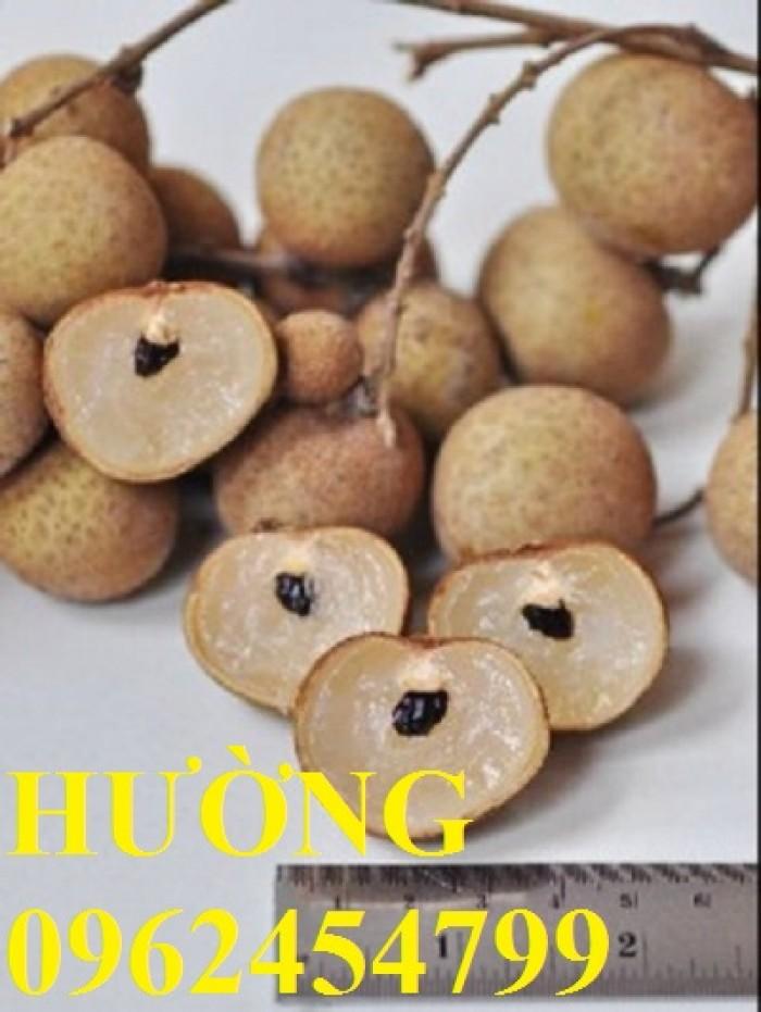 Bán giống cây nhãn không hạt chuẩn giống nhập khẩu, giao cây toàn quốc,5