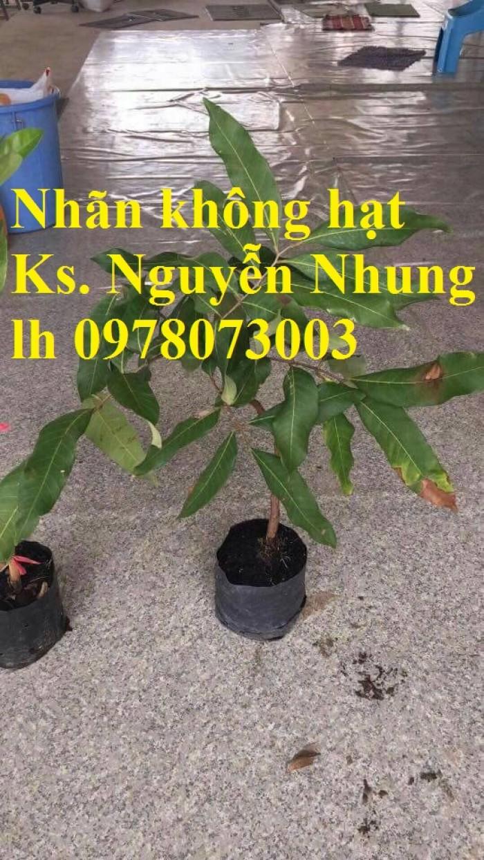 Địa điểm bán cây giống cây nhãn không hạt, uy tín, chất lượng, cây cho năng suất cao5