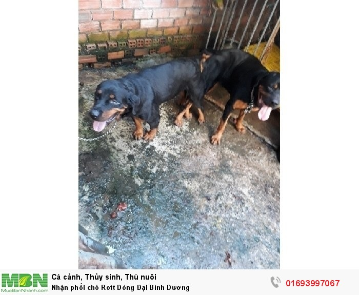 Nhận phối chó Rott Dòng Đại Bình Dương1