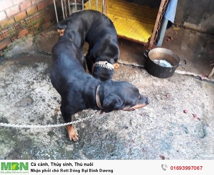 Nhận phối chó Rott Dòng Đại Bình Dương2