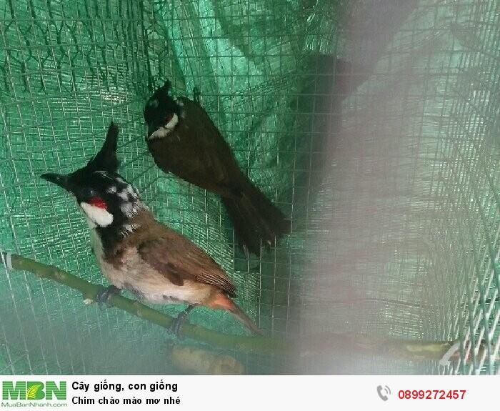Chim chào mào mơ  nhé2