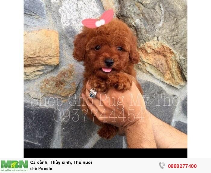 Chó Poodle1