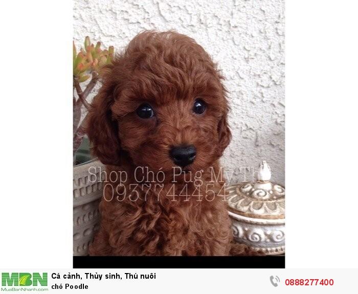 Chó Poodle2