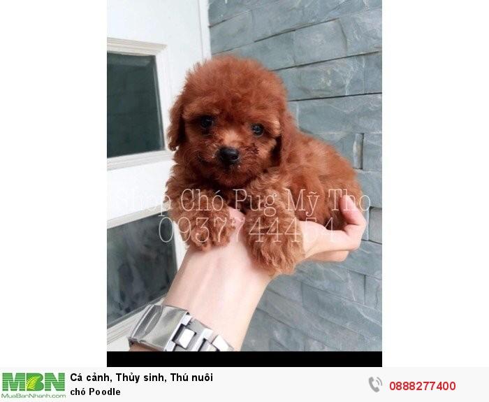 Chó Poodle3