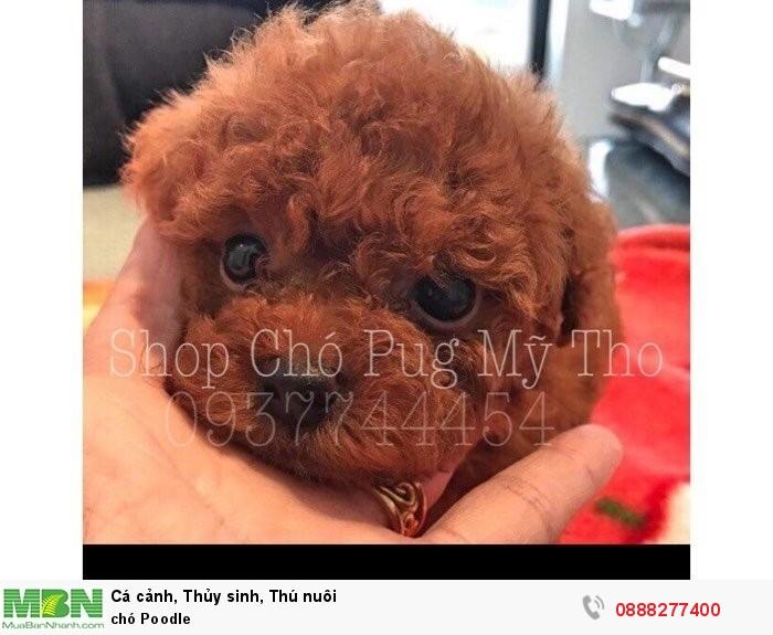 Chó Poodle4